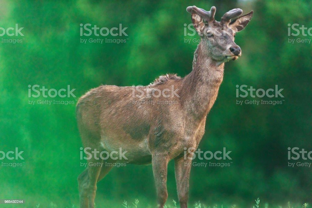 젊은 드디어 배경에서 흐리게 봄 나무와 벅. - 로열티 프리 갈색 스톡 사진