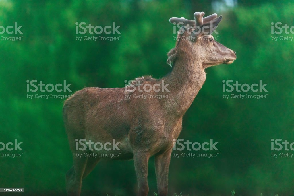 Young red deer buck with blurred spring trees in background. royalty-free stock photo