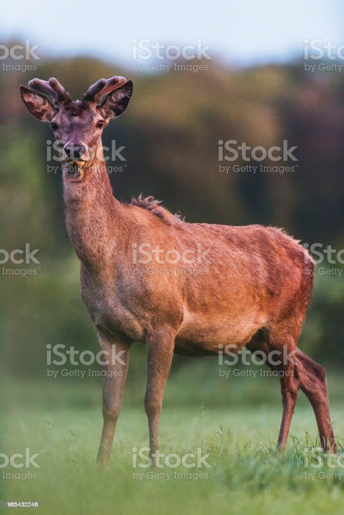 Young red deer buck with growing antlers in meadow during spring. zbiór zdjęć royalty-free