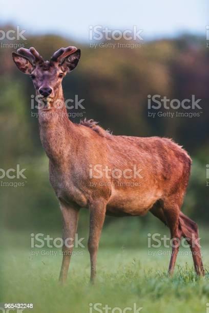 Foto de Jovem Cervo Vermelho Animase Com O Crescimento De Chifres Em Prado Durante A Primavera e mais fotos de stock de Animais Machos