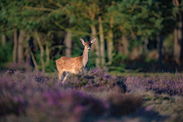 Young red deer (cervus elaphus) in blooming heather in sunlight. stock photo