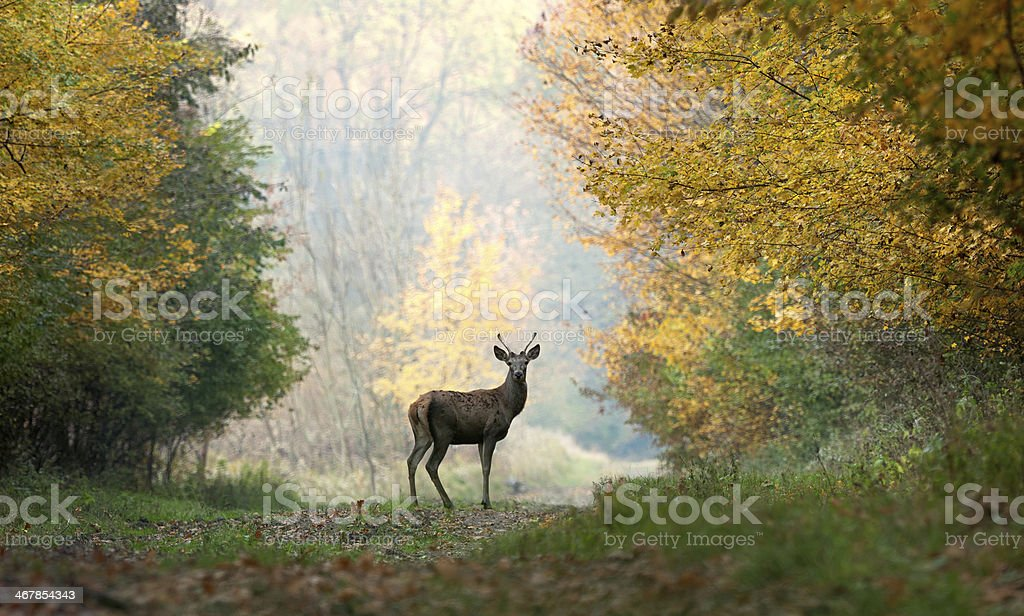 Young red deer on autumn background. stock photo