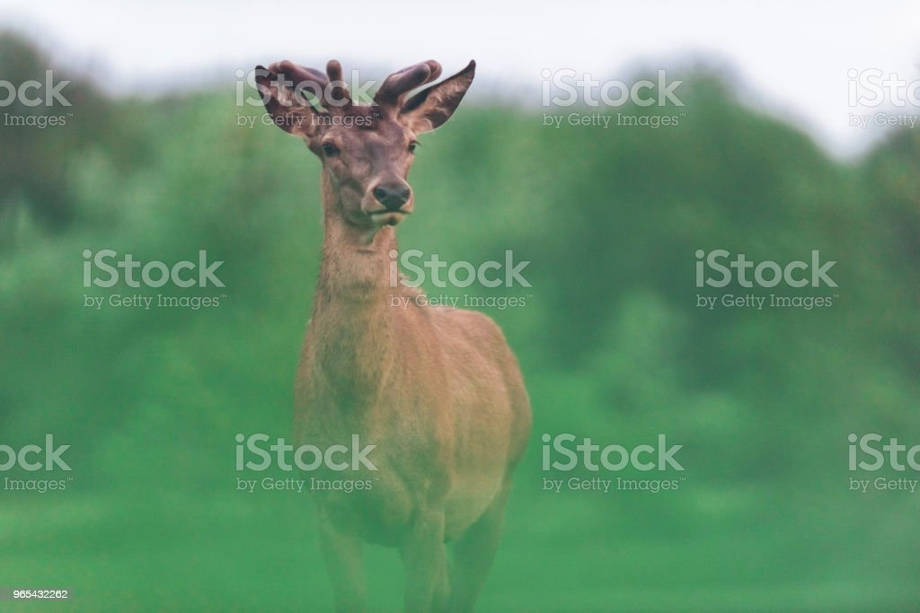Young red deer stag with new growing antlers during spring. zbiór zdjęć royalty-free