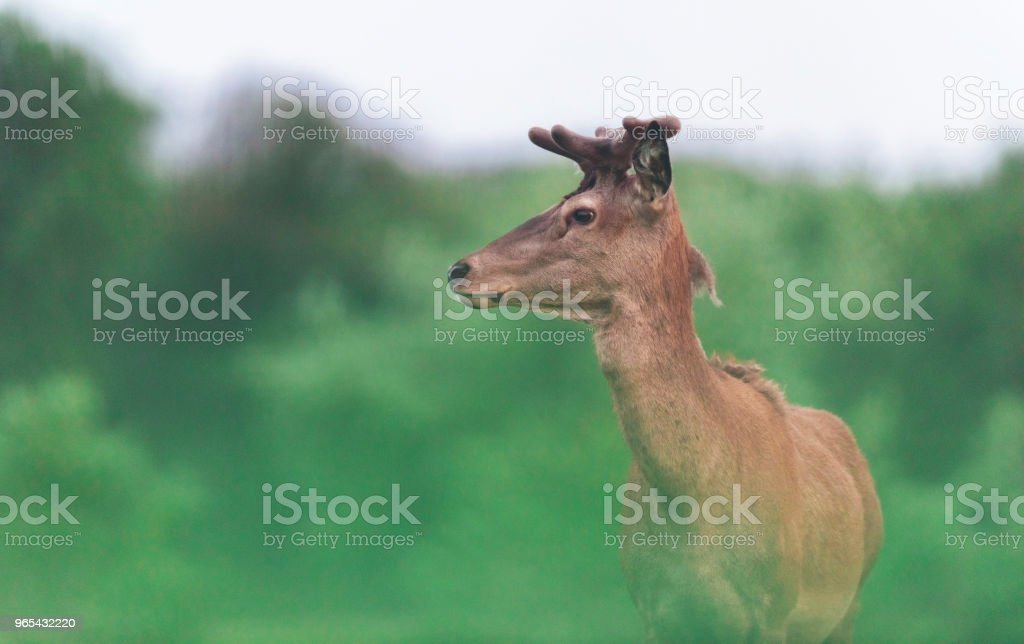 Young red deer stag with new growing antlers during spring. Side view. royalty-free stock photo