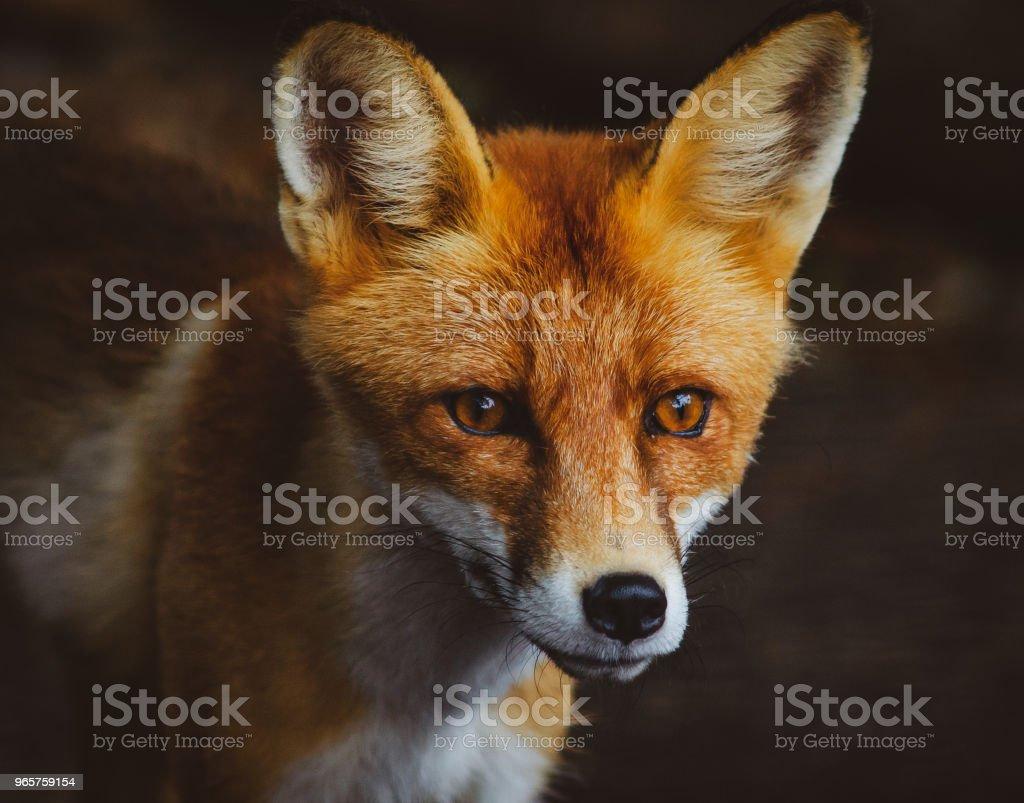 Portret van de jonge vos - Royalty-free Dier Stockfoto