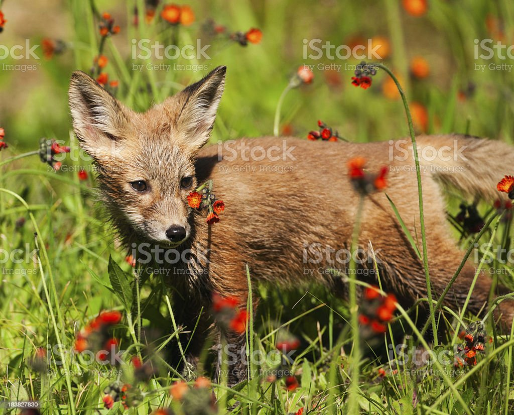 young red fox pup in a field of orange wildflowers stock photo