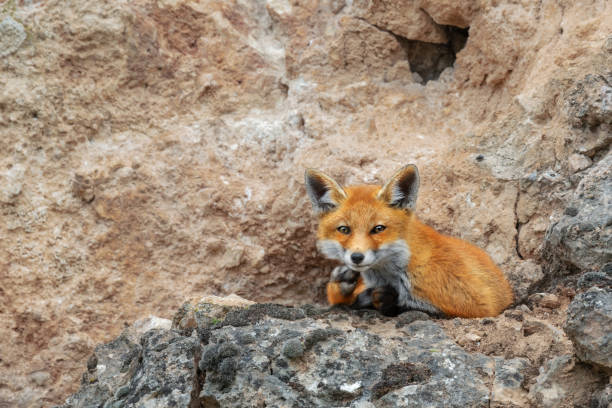 Young red fox resting on the rocks stock photo