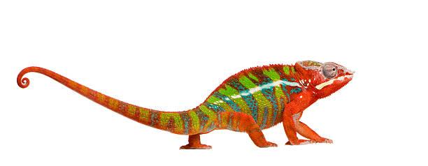 panther chameleon furcifer pardalis-ambilobe (18 miesięcy - kameleon zdjęcia i obrazy z banku zdjęć