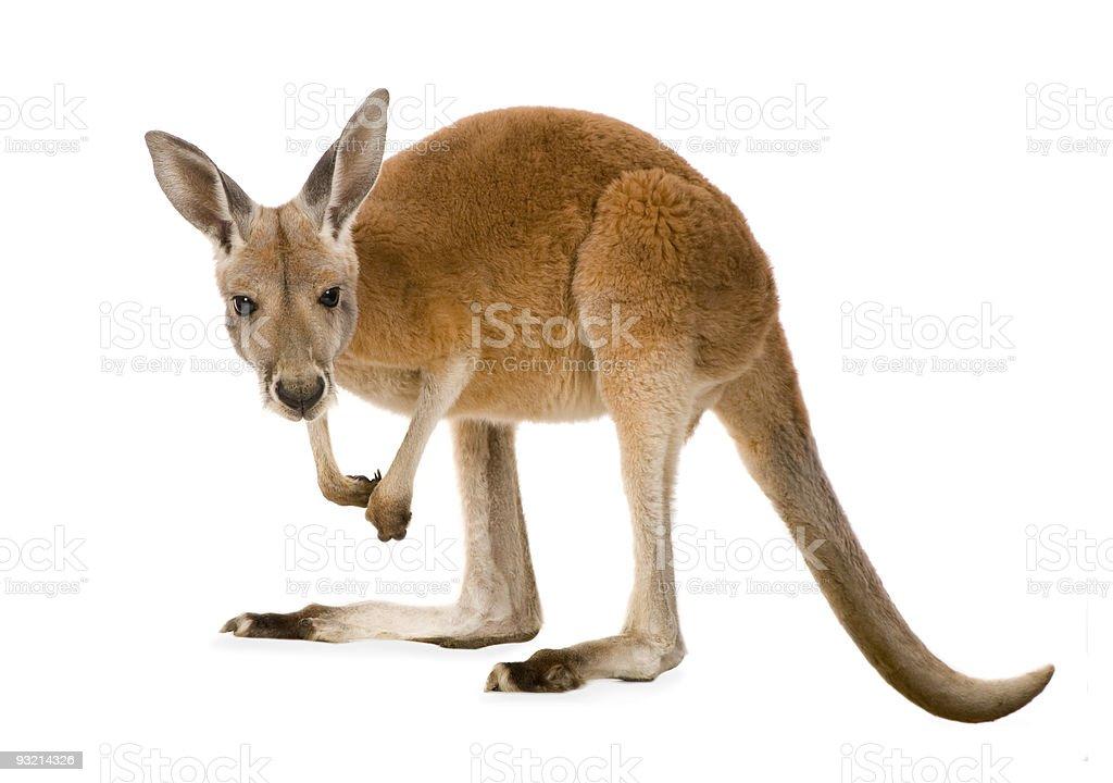 Young red kangaroo (9 months) - Macropus rufus stock photo