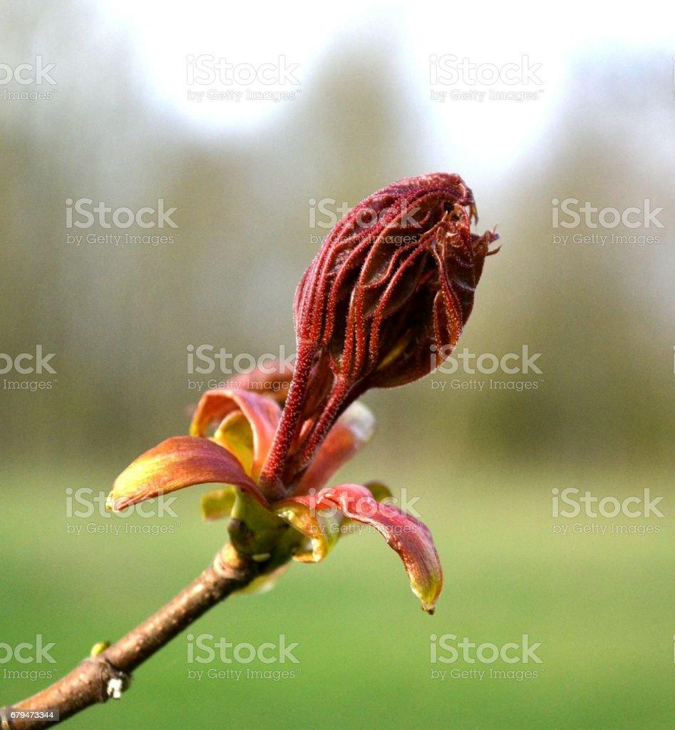 在公園裡的加拿大楓木紅葉年輕 免版稅 stock photo