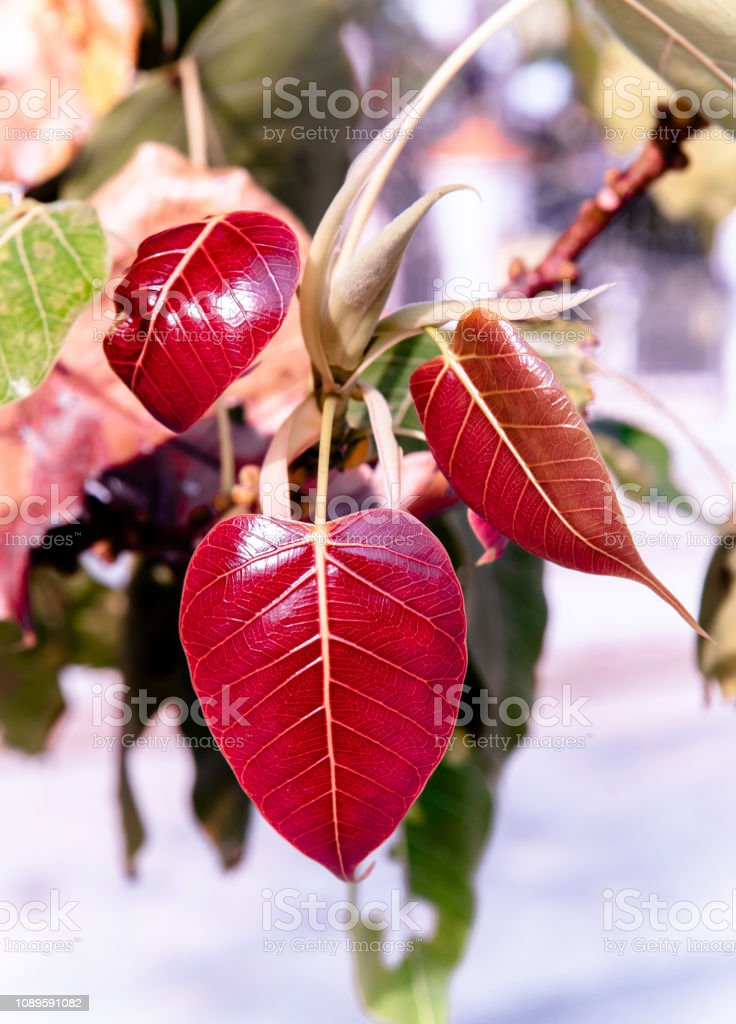 Young red leaves of Bodhi tree or Peepal tree stock photo