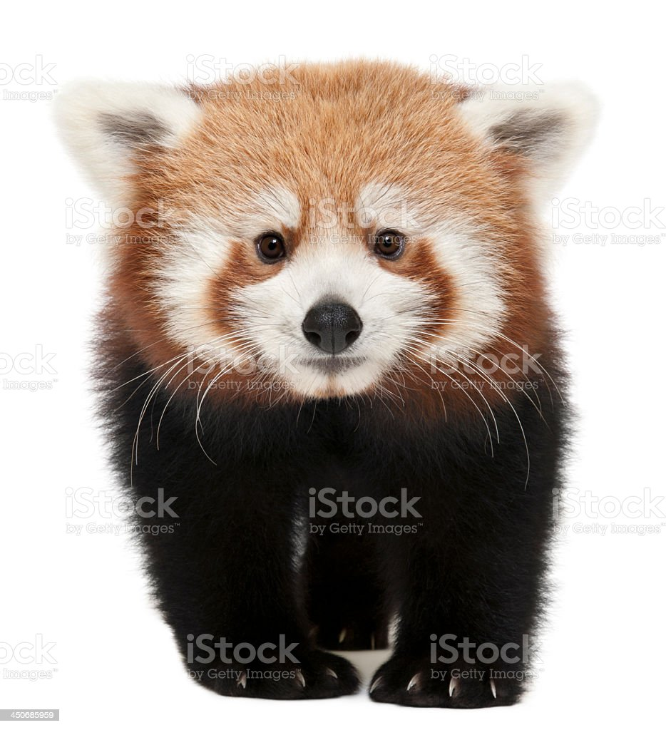 Young red panda isolated on white stock photo