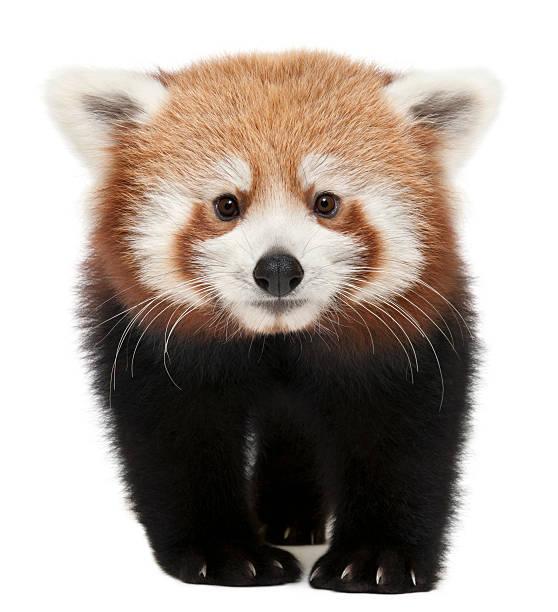 young red panda isolated on white - jong dier stockfoto's en -beelden