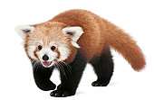 Young Red panda or Shining cat, Ailurus fulgens, 7 months old, in front of white background.