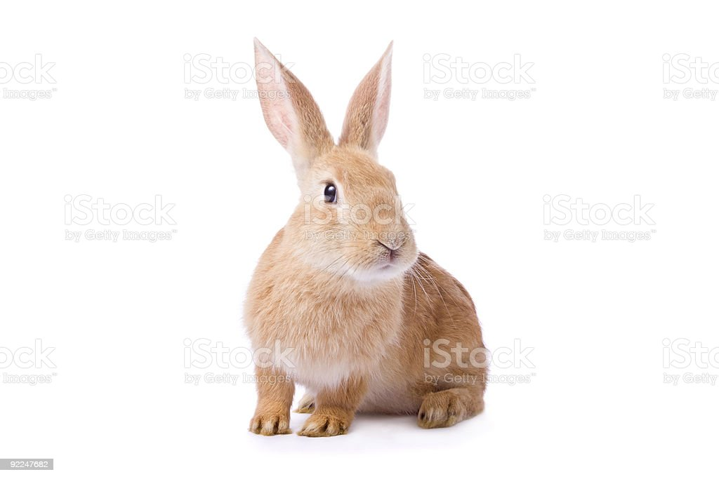 young red rabbit isolated on white background stock photo