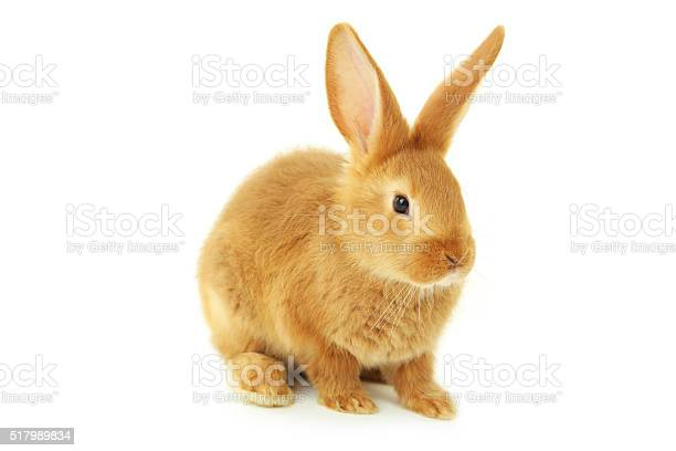 Young red rabbit isolated on white picture id517989834?b=1&k=6&m=517989834&s=612x612&h=7 qu5jgn5movubsi5zbyy6bnoxzxc5pyz96oap9kuhs=