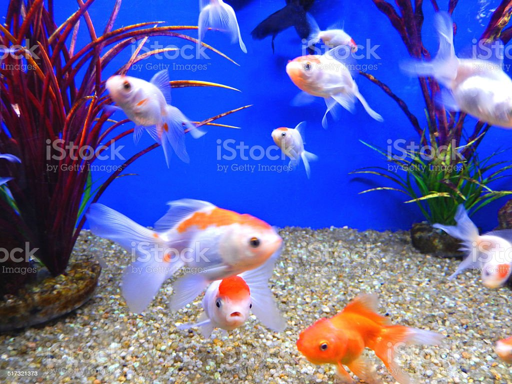 Young Redcap Orandas Red And White Fantail Goldfish Fancy