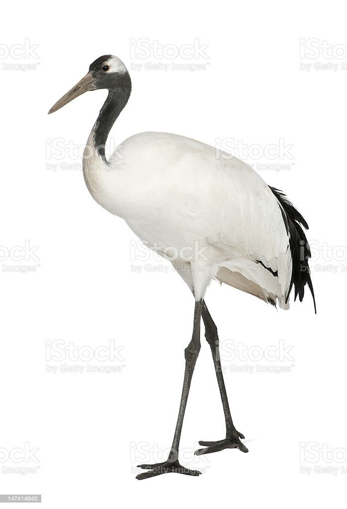 Young Red-crowned Crane, Grus japonensis royalty-free stock photo