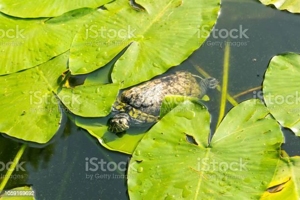 Young redeared turtle swims among the foliage of the water lily lotus picture id1059169692?b=1&k=6&m=1059169692&s=612x612&h=x440bau6e3r vsipc9q24gorsyfqpu7hegqvgbezeki=
