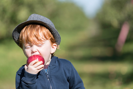 Young Redhead Baby Boy Picking Apples in Orchard