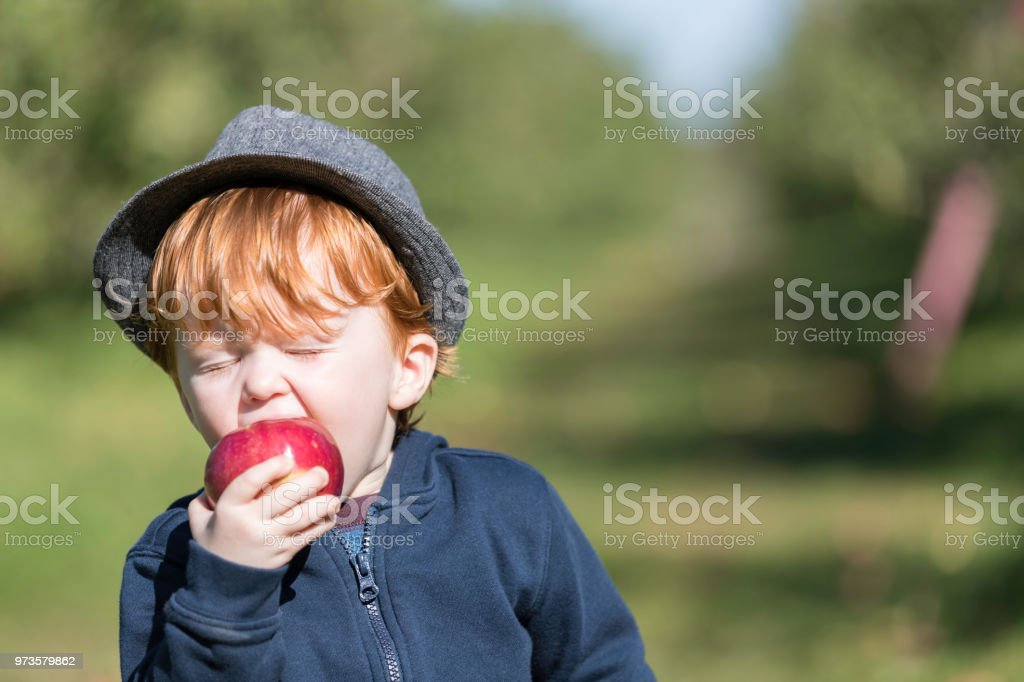 Young Redhead Baby Boy Picking Apples in Orchard stock photo
