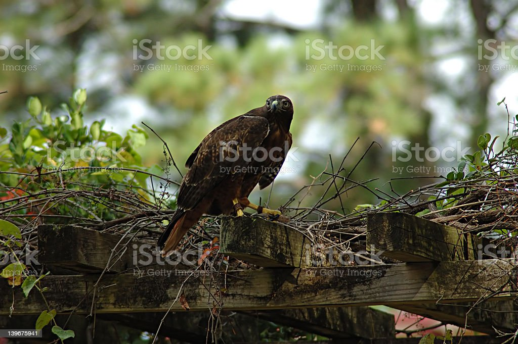 Young Red-tailed Hawk stock photo