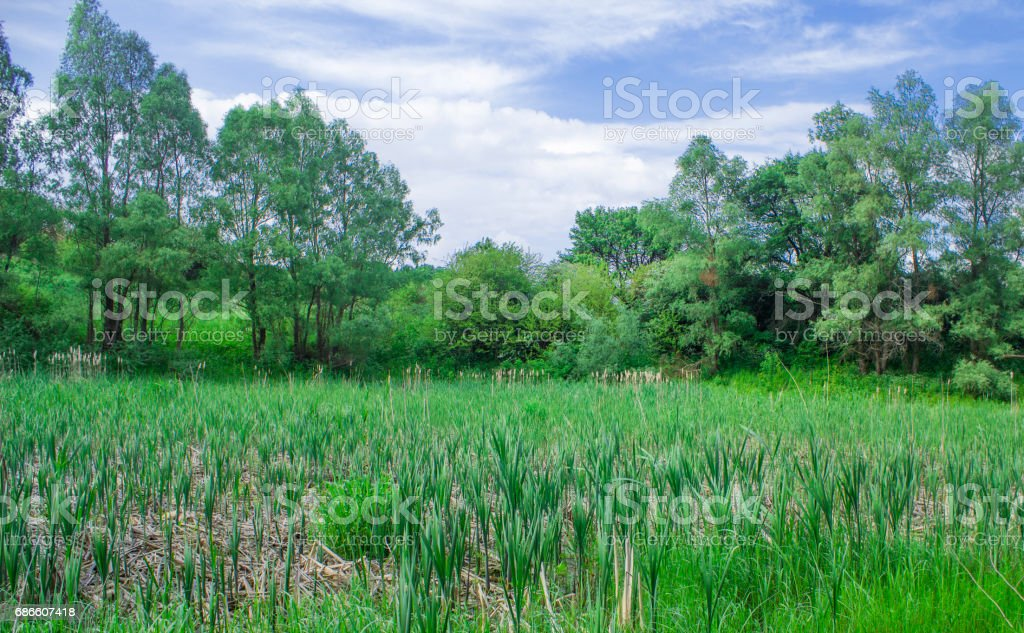 A young reed grew on a dry forest lake royalty-free stock photo