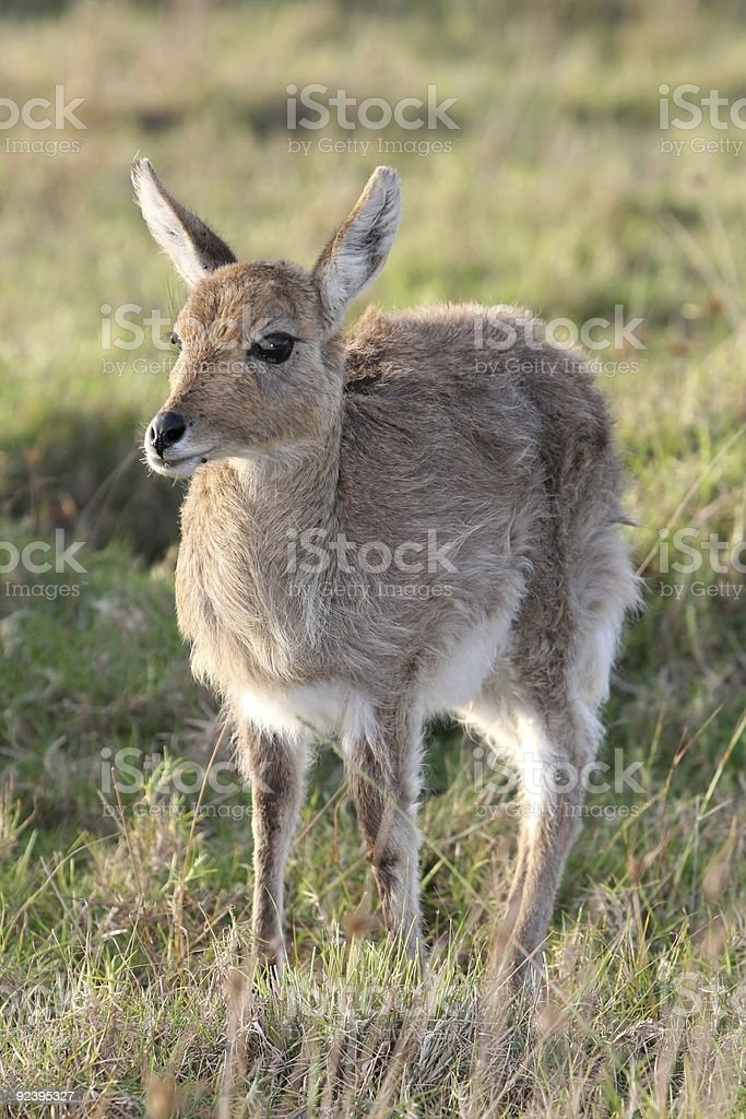 Young Reedbuck stock photo