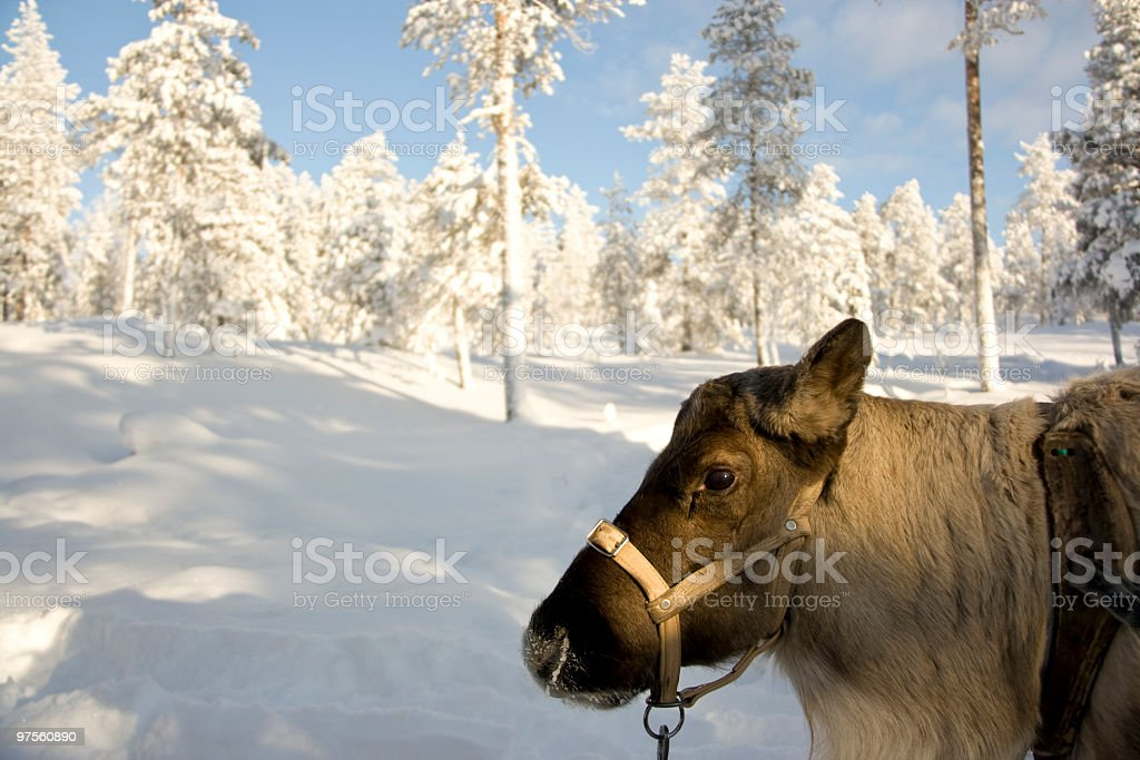 Young Reindeer in the Forest royalty-free stock photo