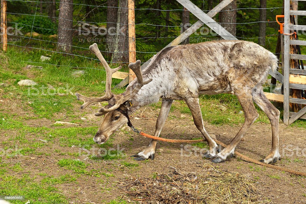 Young reindeer on farm in northern Finland stock photo