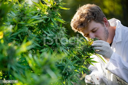 Young Researcher Smelling Cannabis Bud.