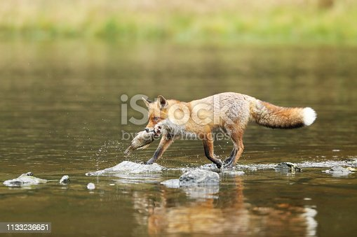 Male of red fox with fish in the river - Vulpes vulpes