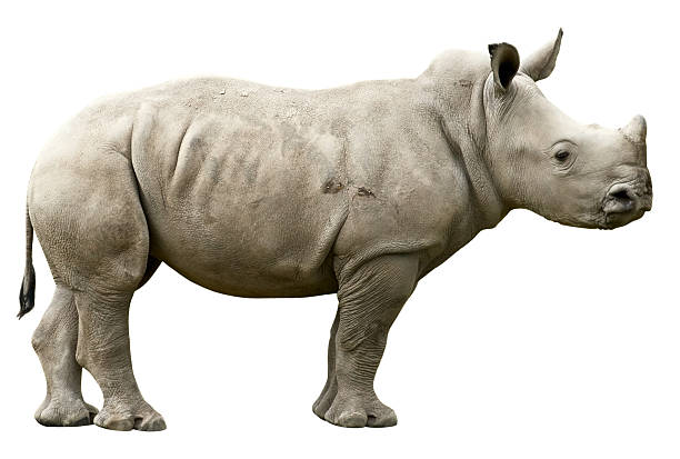 Young Rhino with clipping path on white background Young Rhinoceros isolated on white with clipping path rhinoceros stock pictures, royalty-free photos & images