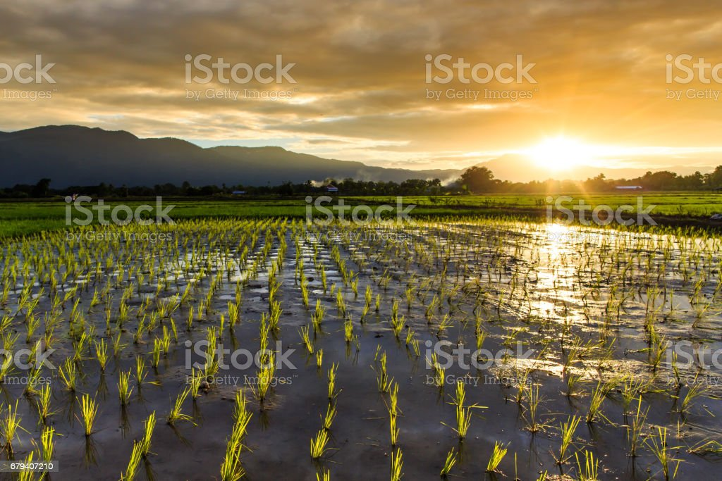 Young rice field with mountain sunset background royalty-free stock photo