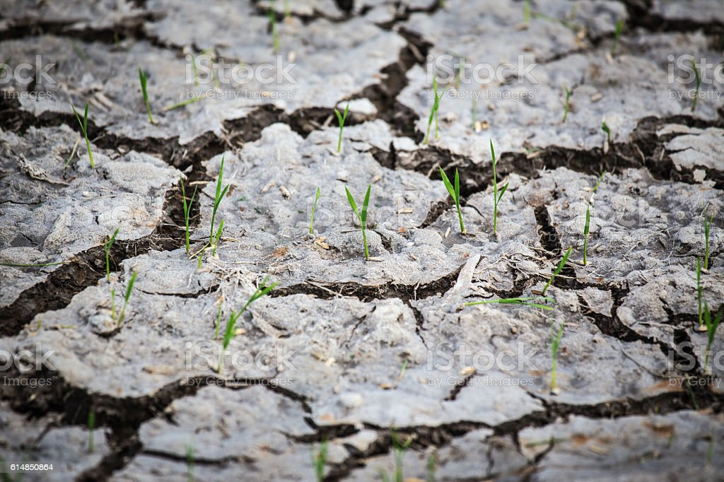 young rice sprouts growth from cracked earth stock photo