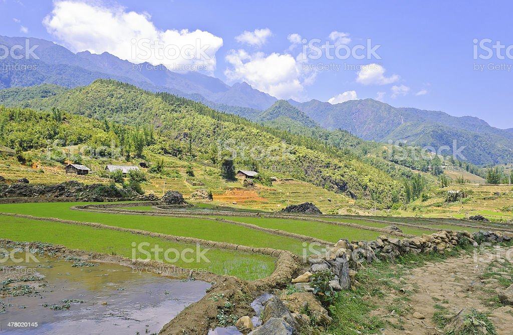 Young rice terraced fields, Vietnam royalty-free stock photo