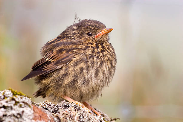 Young robin resting on a stone stock photo