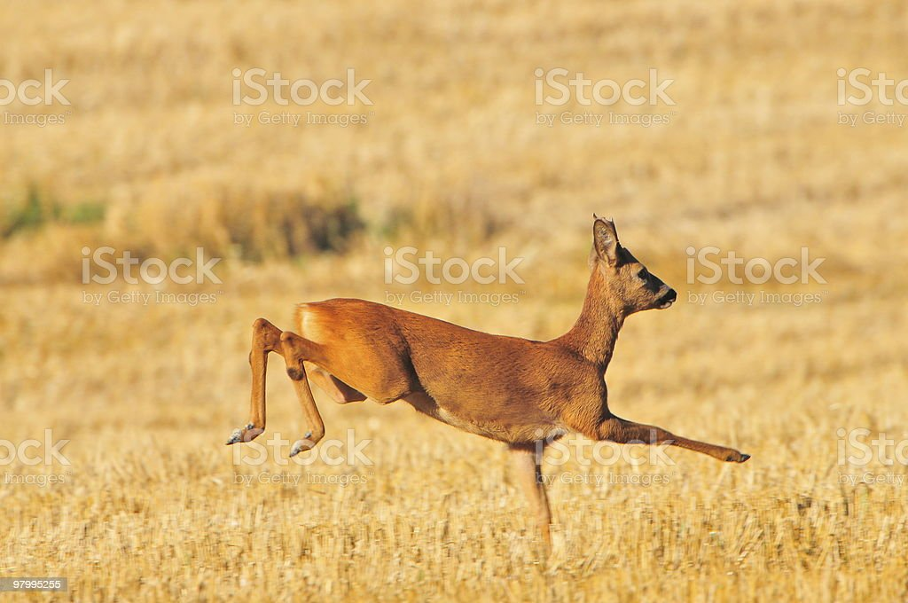 Young roe buck ist running over a meadow royalty-free stock photo