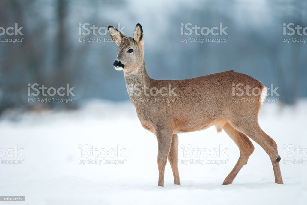 Young roe buck without antlers during winter time – Foto