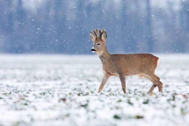 young roe deer buck walking across field while it snows - reh stock-fotos und bilder