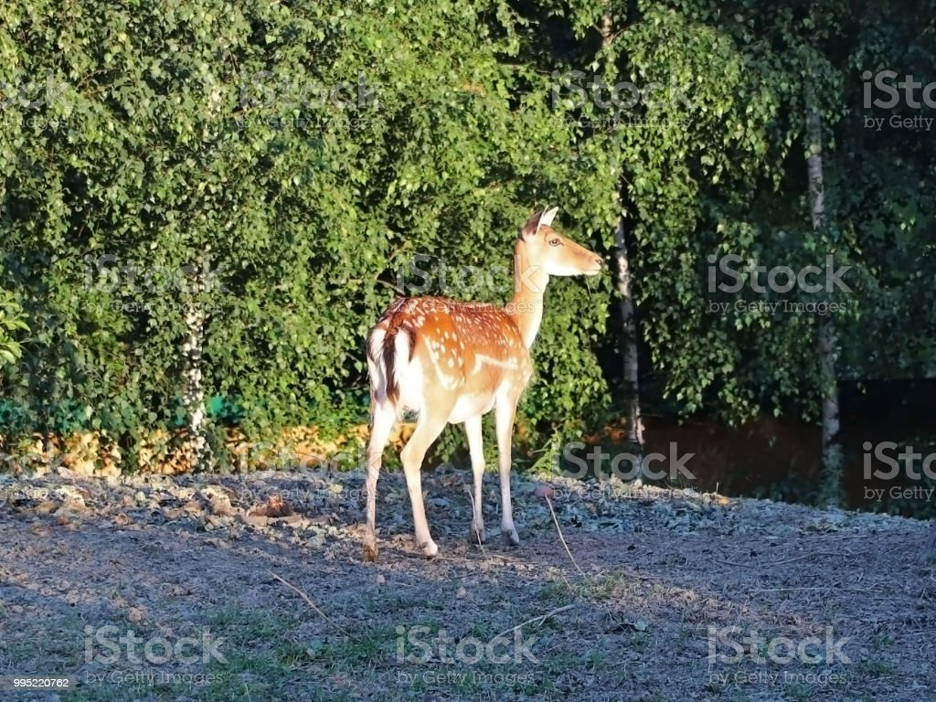 Young roe deer graze at the edge of the forest in the rays of...