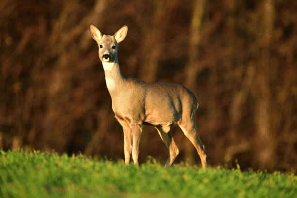 Young roe deer with without antler watching on the enemy on meadow stock photo
