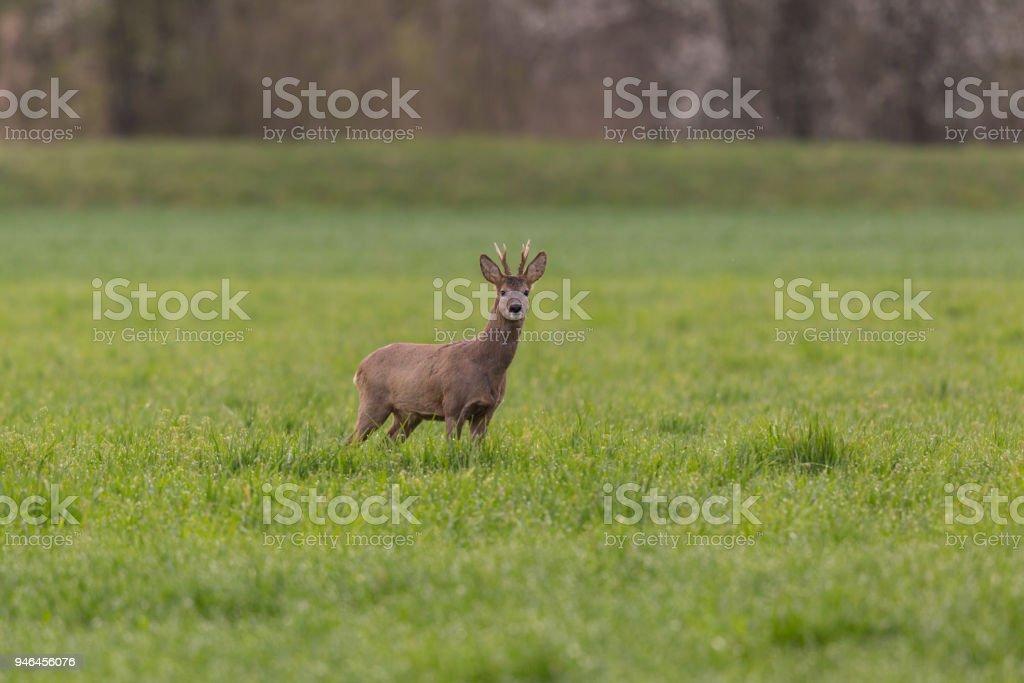Junges Reh (Capreolus) im grünen Wiese stehen – Foto