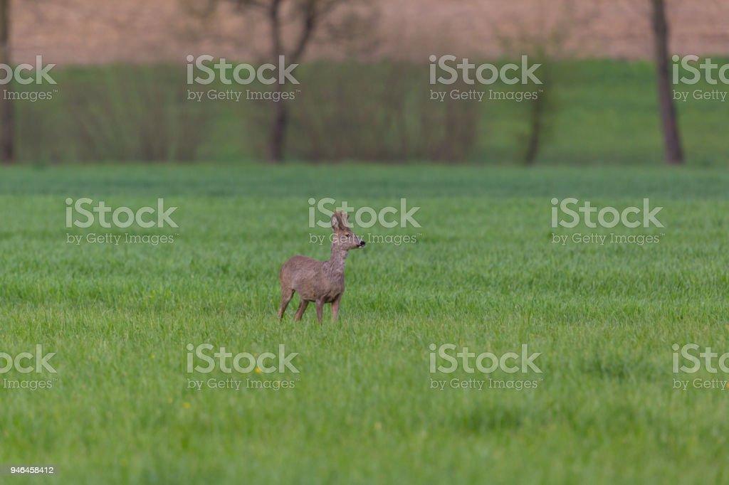 Junges Reh (Capreolus) stehend auf grüner Wiese, Bäume im Hintergrund – Foto