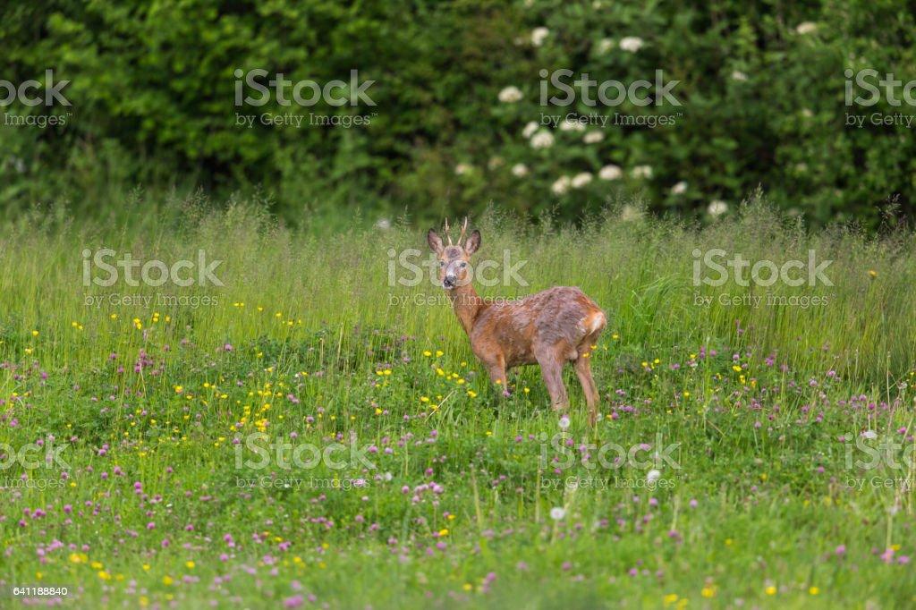 Junge roebuck steht im meadow – Foto