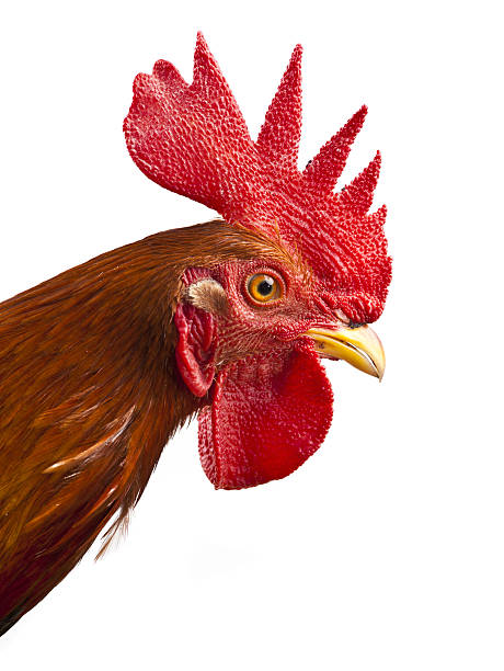 young rooster portrait young  rooster isolated on white rooster stock pictures, royalty-free photos & images