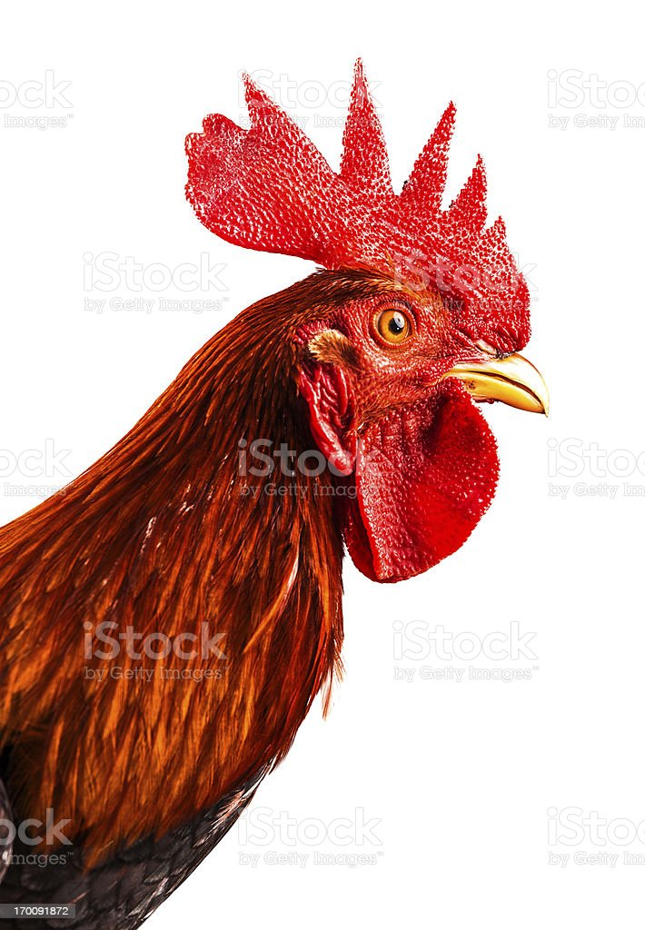 young rooster portrait royalty-free stock photo