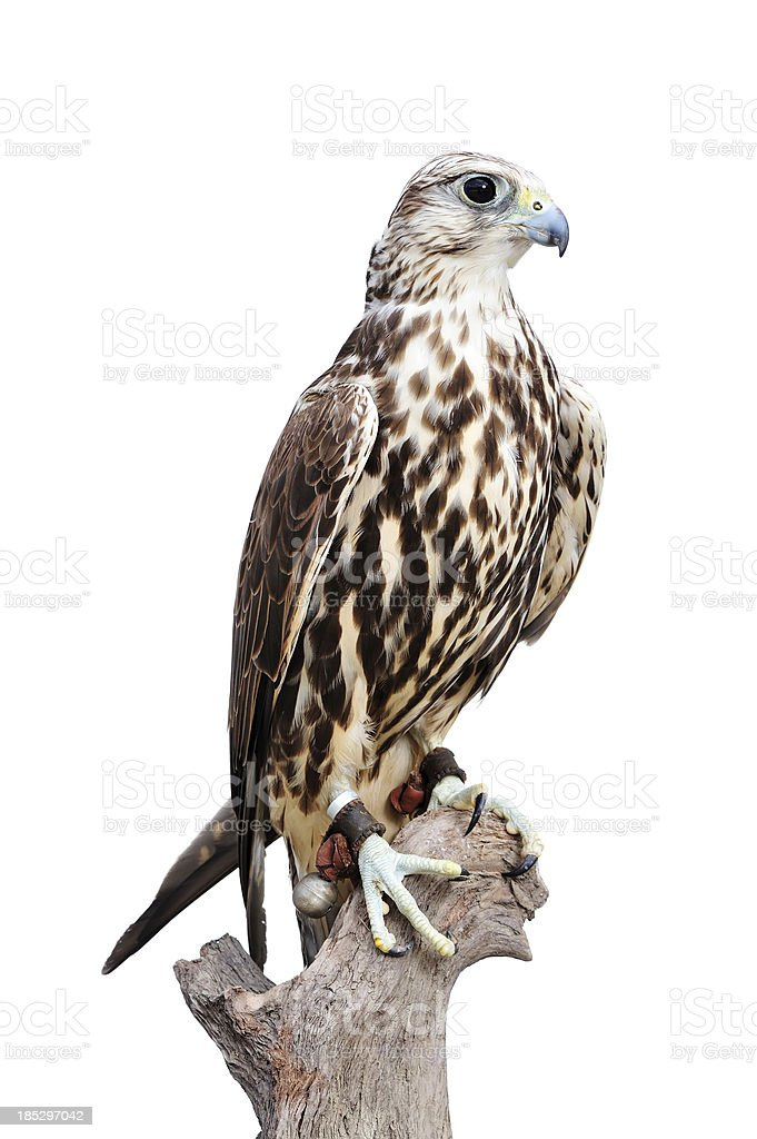 A young saker falcon standing on a wood stock photo