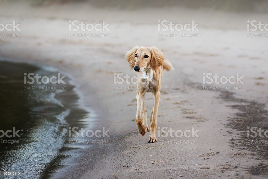 Young saluki (persian greyhound) playing be the sea stock photo