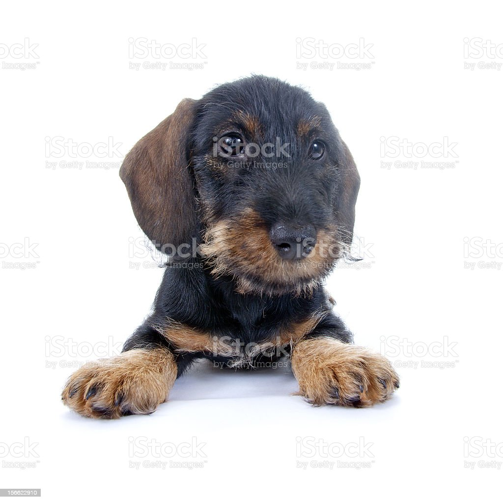 Young sausage dog royalty-free stock photo
